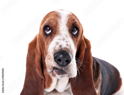 Poster Chien Basset hound dog on white background