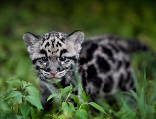 Fototapeta na wymiar clouded leopard cub