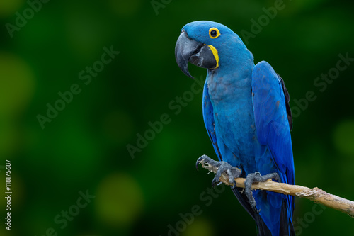 blue macaw Wallpaper Mural