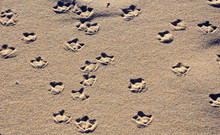 Patterns Of Seagull Webbed Foot Prints (tracks) On A Sandy Beach