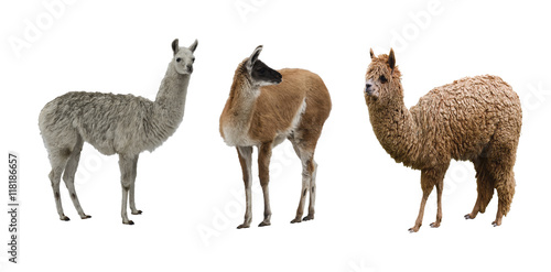 Foto op Plexiglas Lama the family of camelids on white background isolated