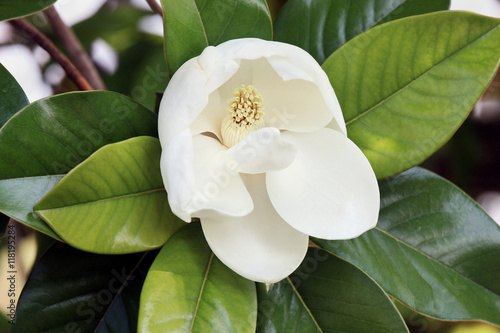 Magnolia Flower On Tree Big White Petals And Yellow Stamens Green