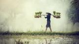 Kobieta Rolnicy uprawiają ryż w porze deszczowej. Byli nasączeni wi - 118219444