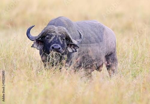 Staande foto Buffel Buffalo in the dry nature habitat, wild africa, dangereous animal, african big five, this is africa, Masai Mara in Kenya