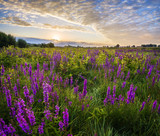 Fototapeta Kwiaty - Lato na łące,fioletowe kwiaty polne kwitnące na łące o poranku