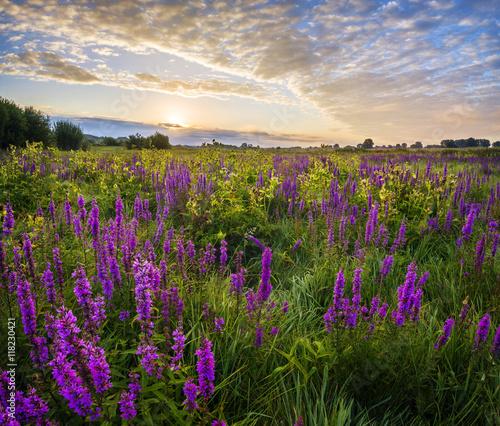 Fototapeta Lato na łące,fioletowe kwiaty polne kwitnące na łące o poranku obraz na płótnie