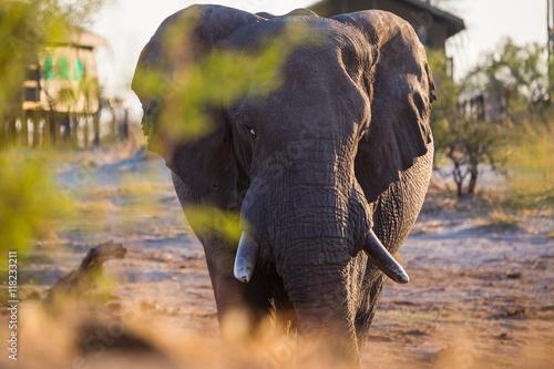 Staande foto Buffel African elephants in the middle of the savannah
