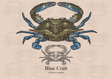 Blue Crab. Vector Illustration...