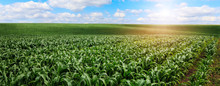 Beautiful Sunny Day Over The Green Large Field Of Corn. Rich Hervest Concept