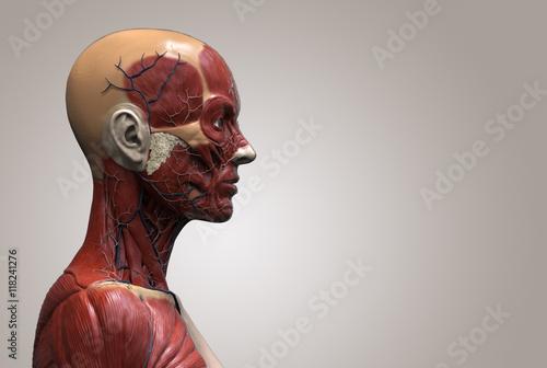 Head Anatomy Of A Female Human Head And Shoulder Muscular Anatomy