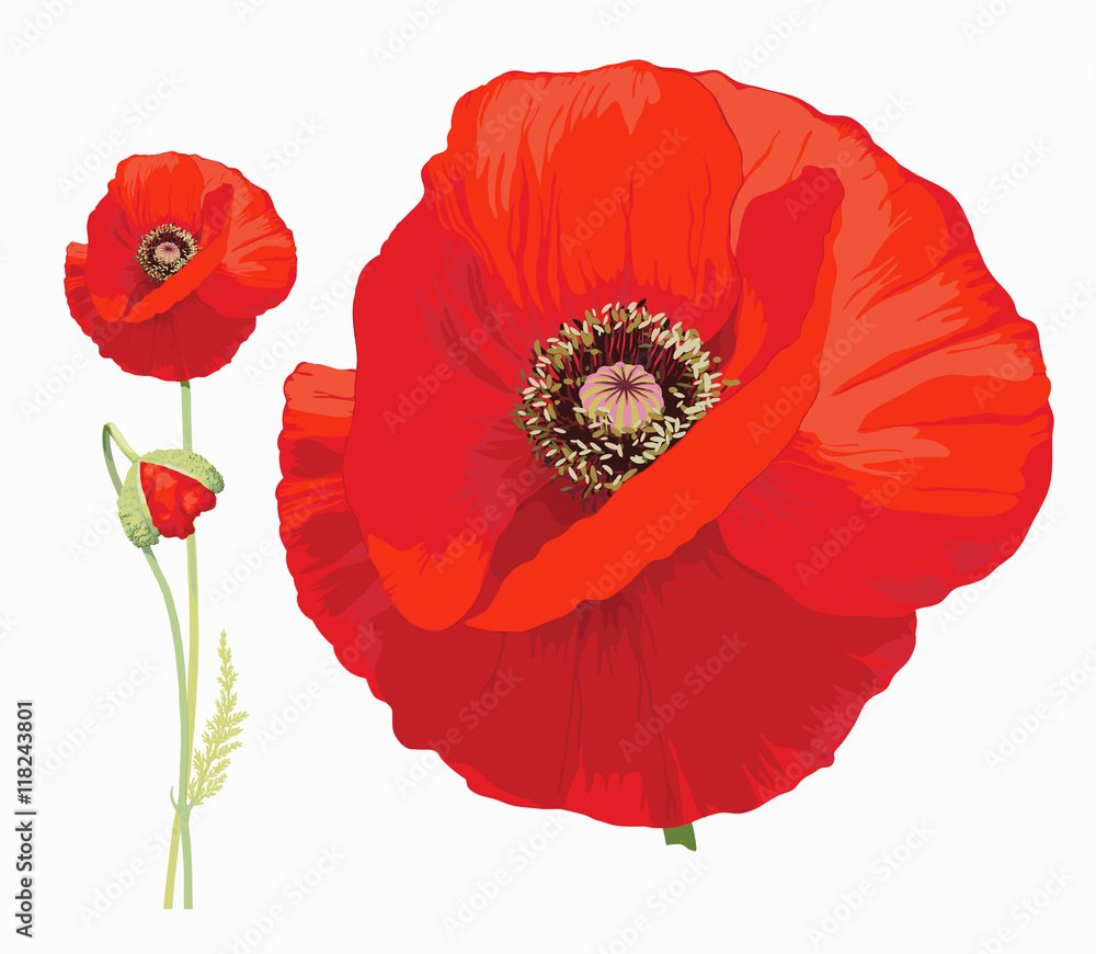 Fototapety, obrazy: Red poppy (Papaver rheas) - Hand drawn vector illustration of a red poppy in full bloom and a bud on transparent background.