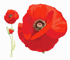 Fototapeta Red poppy (Papaver rheas) - Hand drawn vector illustration of a red poppy in full bloom and a bud on transparent background.