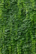 Wall Covered With Vines