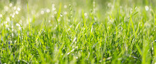 Fresh Green Grass With Water Drops In Summer Sunny Day.