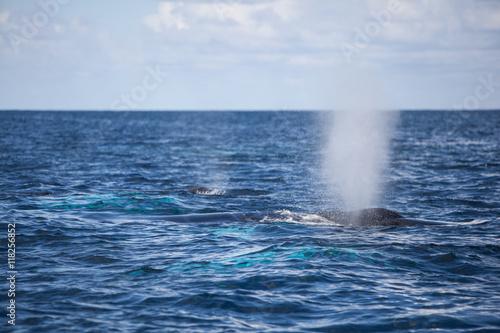 Fotografija  Humpback Whale Blow at Surface of Ocean