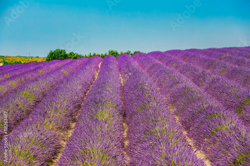 Fotobehang Lavendel Scenic View of Blooming Bright Purple Lavender Flowers Field in Provence