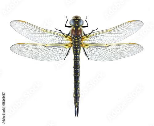 Dragonfly Brachytron pratense on a white background