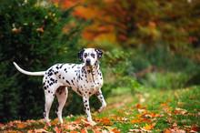 Dalmatian Dog In Autumn Forest