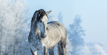 Andalusian Thoroughbred Gray H...