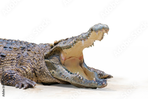 Poster Crocodile Crocodile / View of crocodile swamp with open mouth on white background.