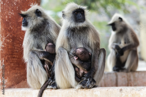 Close up of langur monkeys nursing babies Poster