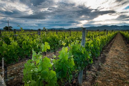 Papiers peints Vignoble Bolgheri, Tuscany, Italy, Grapes growing in vineyard