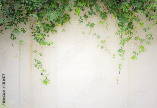 Photo Ivy leaves wall background