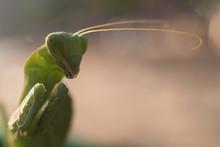 Portrait Of A Praying Mantis