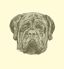 Sketch Mastiff In Vintage Style.