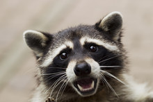 Portrait Of A Curious Raccoon