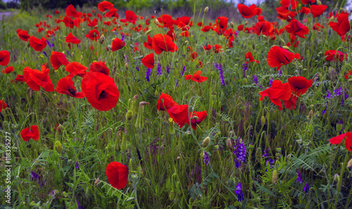 Wild flowers poppies in the field buy this stock photo and explore wild flowers poppies in the field mightylinksfo