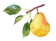 The Fruit Of Pear On The Tree ...