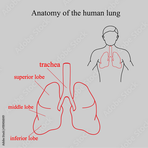 Anatomy of the human lung location lungs in the human body parts anatomy of the human lung location lungs in the human body parts of the ccuart Image collections