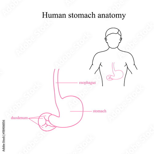 The anatomy of the human stomach. Location of the stomach in a human ...