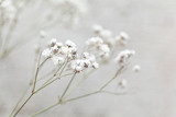 Selective focus of Tiny white flowers gypsophila paniculata. small white flowers - 118407401