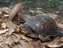 Eastern Box Turtle Crawling Through The Fallen Leaves And Mushro