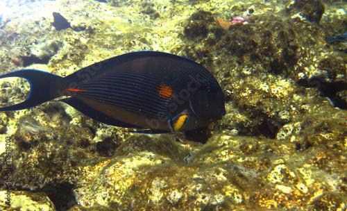 Foto op Plexiglas Indonesië Tropical exotic fish acanthurus underwater in the water Red Sea