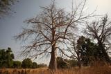 Fototapeta Sawanna - baobab na afrykańskiej sawannie