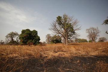 baobab i inne drzewa na afrykańskiej sawannie