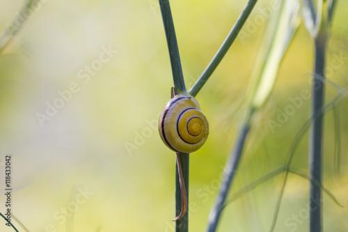 Schnecke an Fenchelpflanze