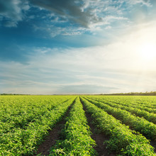 Agricultural Field With Green Tomatoes And Sunset In Clouds