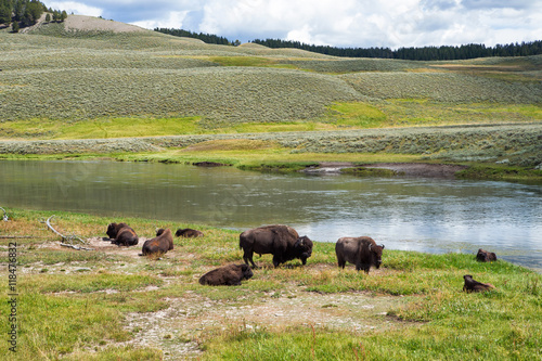 Aluminium Prints bison in grasslands of Yellowstone National Park in Wyoming