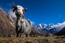 Yak In The Himalayas, Nepal
