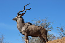 A Proud, Standing Male Greater Kudu In Kruger National Park Looking Ahead