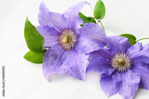 Valokuva  Purple clematis flower