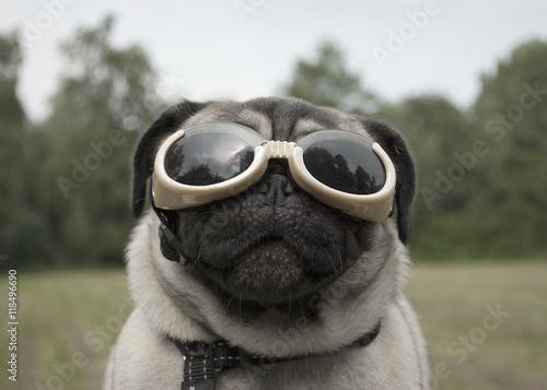 Poster Dog Mopshond met bril buiten in het park