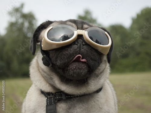Poster Dog Blije hond, mopshond, met hondenbril