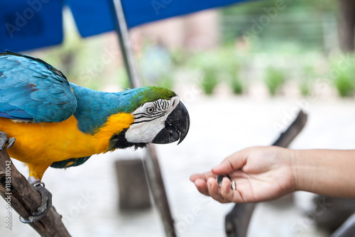 Fotomural Feeding the parrot by hand