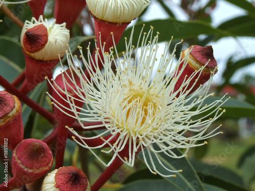 Fotografie, Obraz  White Eucalyptus Flower