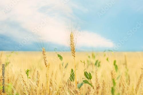 Fototapeta Wheat field in summer day obraz